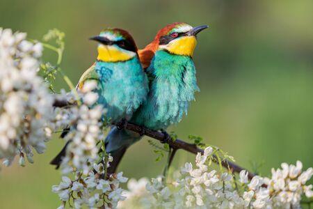 beautiful birds in spring on a flowering branch , wildlife