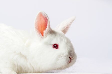 white rabbit close-up on a white background, holiday