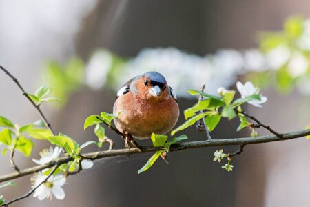 finch among spring flowers on a branch