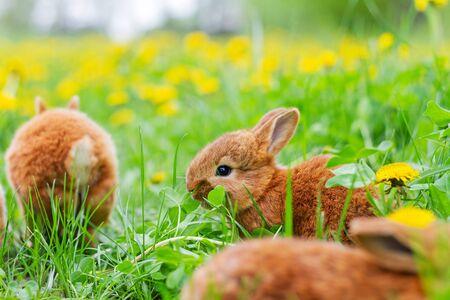 cute rabbits eat clover among green grass