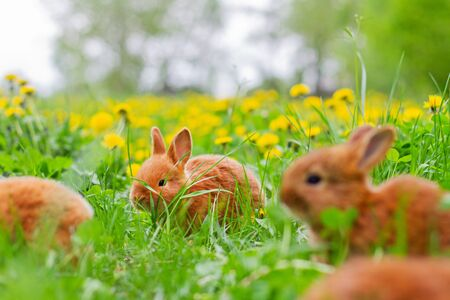 cute red bunnies eating clover among green grass, animals