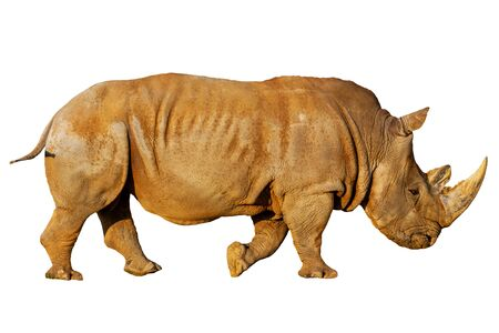 rhino isolated on white background, animals
