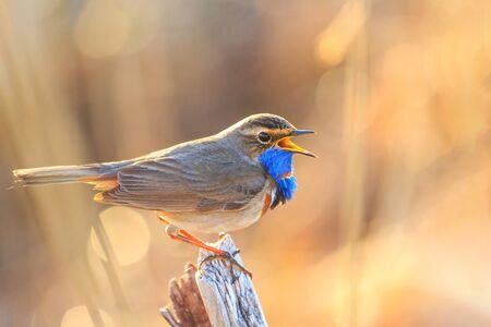 Bluethroat sings sitting on a column , wildlife