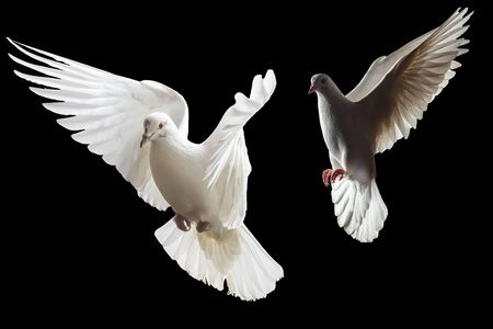 two white doves fly on a black background Foto de archivo