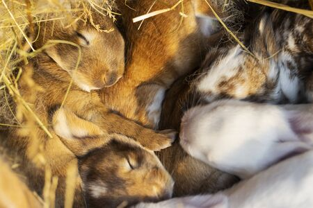 cute multi-colored rabbits sleep in their nest Stock Photo