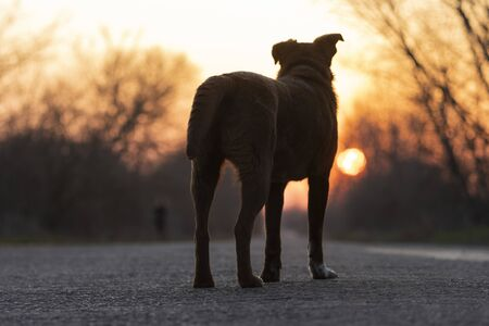 dog stands on the road and looks at the sunset 版權商用圖片