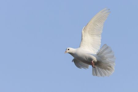 white dove a symbol of hope in flight