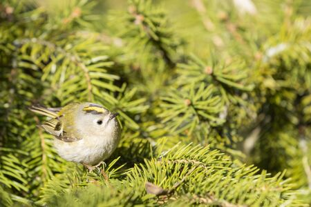 Goldcrest among green branches of spruce
