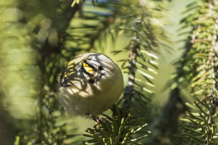 Goldcrest in the shade of green branches of spruce 版權商用圖片