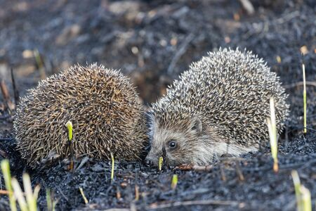 two hedgehogs lurking on the ground