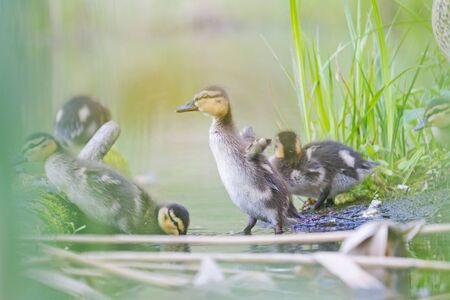 little cute duckling flaps its wings
