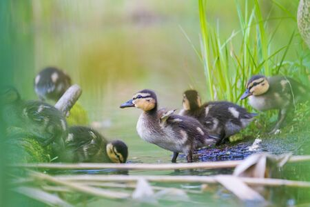 little cute ducklings in their native habitat