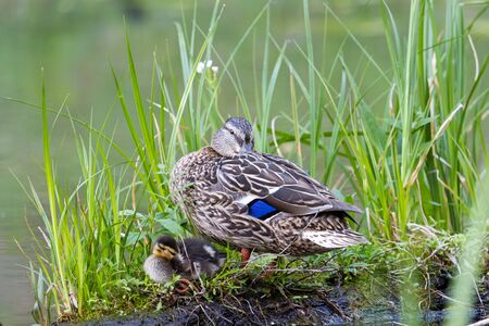 mom duck and little duckling sleep on a bump, wildlife