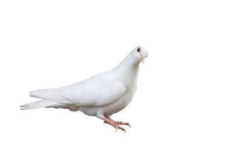 white carrier pigeon isolated on white background