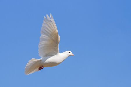white dove symbol of peace flies in the blue sky