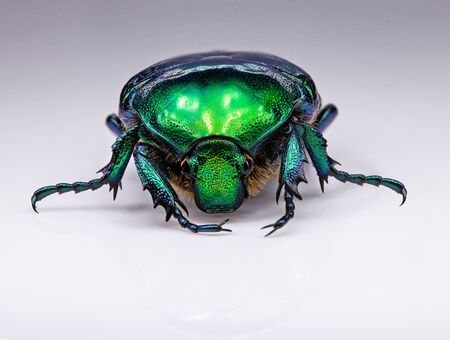 green bronze beetle on a white background