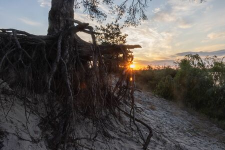 sunrise among the roots of a huge pine, summer rest