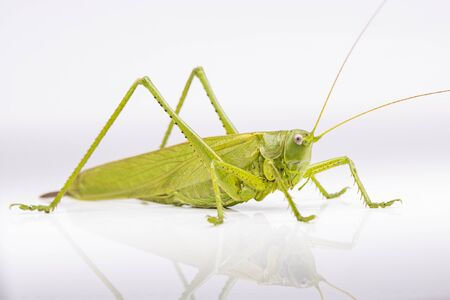 green locust on a white background, insects