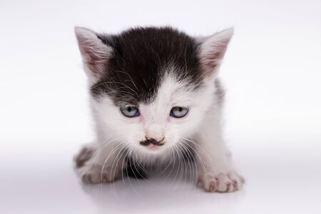 kitten similar to a famous person on a white background, kids animals Standard-Bild