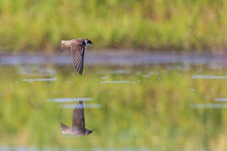 sand martin drinks water on the fly , summer day
