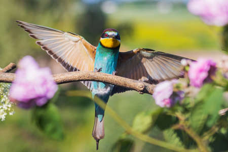 bee-eater flaps its wings among spring flowers, wild nature