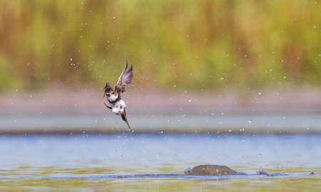 bird on the fly delves into the water Standard-Bild