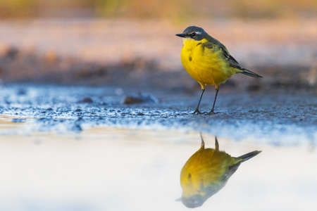 yellow wagtail with reflection in the water