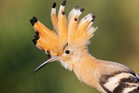 hoopoe with open crest looks at the camera