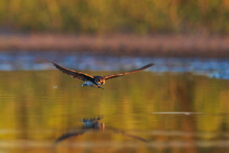 sand martin flies over water with reflection
