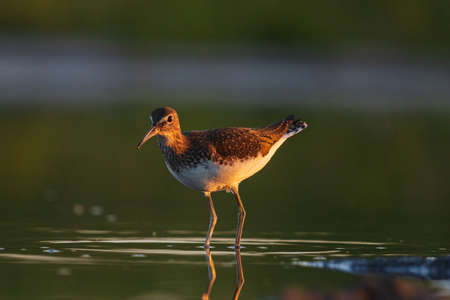 sandpiper stands in water at sunset