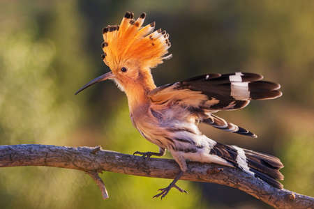beautiful wild bird in the setting sun, hoopoe Standard-Bild