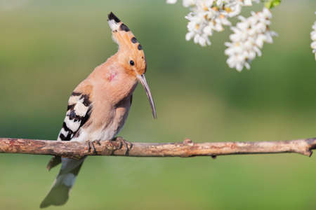 hoopoe sings a song among white flowers Standard-Bild - 154755938