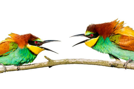 colorful birds clash isolated on white