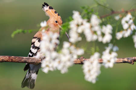 hoopoe sings a song among the white robinia flowers Standard-Bild