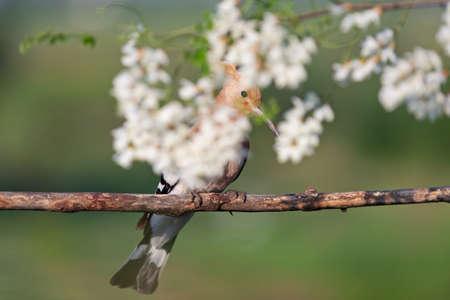 wild bird hiding among white flowers Standard-Bild - 154755820