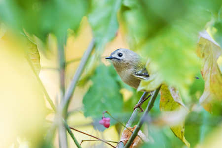 Goldcrest sitting among the leaves in the autumn forest Standard-Bild