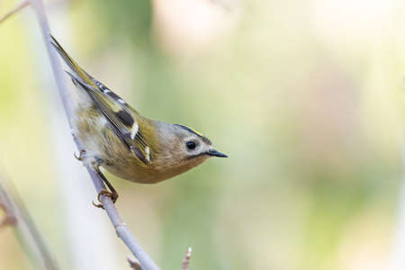 Goldcrest sitting on a branch in the autumn forest Standard-Bild - 155794778