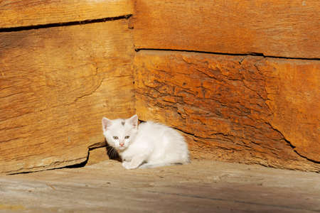 white kitten basking in the sun on a wooden doorstep