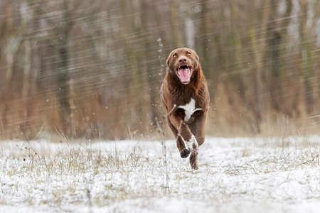 joyful brown dog runs on the first snow