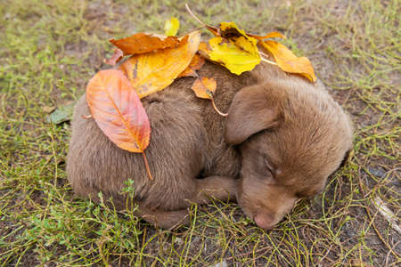 brown cute puppy sleeps covered with autumn leaves