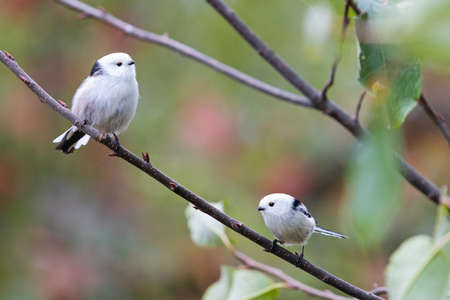 two small birds, long-tailed tits in the autumn forest Standard-Bild