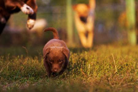 cute brown puppy running away playing from parents Standard-Bild - 156626518