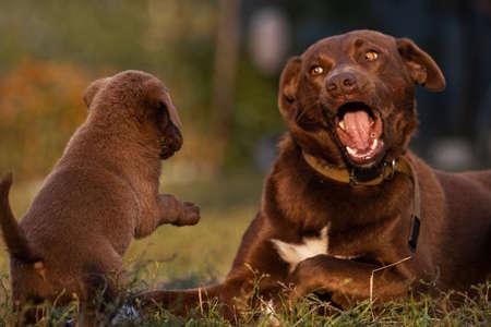 father dog and dog son playing Standard-Bild