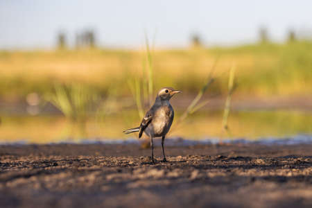 little gray bird stands on the shore of the lake