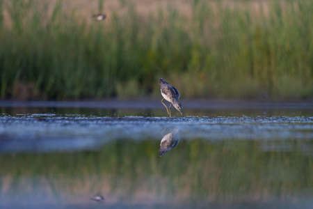 sandpiper at dusk in shallow water looking for food