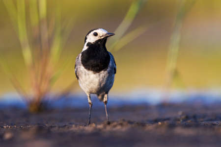 white wagtail looking at the camera
