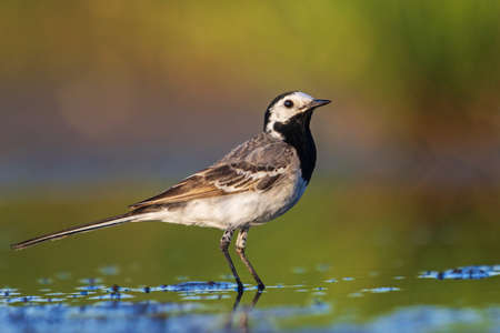 white wagtail stands in the water at sunset