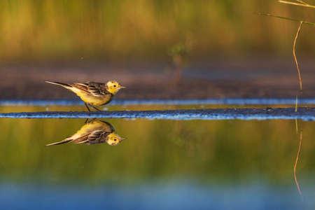 yellow bird with reflection in water Standard-Bild