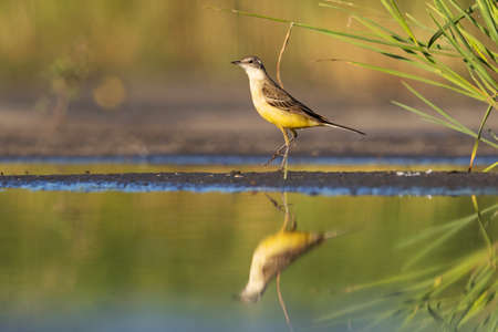 yellow wagtail stands on tiptoe near the water