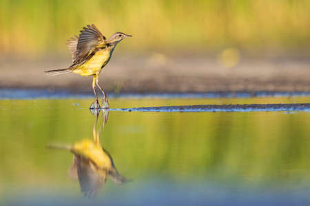 yellow wagtail takes off from the water Standard-Bild